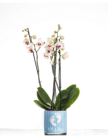 It's a boy orchid