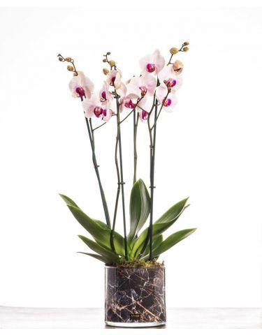 Rock n roll orchid